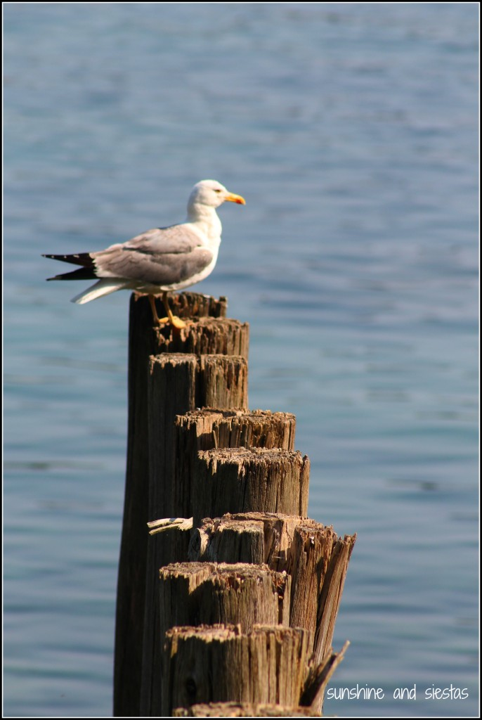 Seagull on wood planks